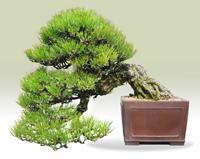 درختچه های مینیاتوری