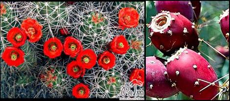 گل و ميوه كاكتوس