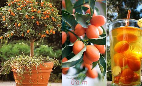 پرتقال کامکوآت میوه آپارتمانی
