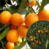 پرتغال کامکوآت میوه آپارتمانی