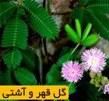 فروش گل قهر و آشتی (گل حساس)