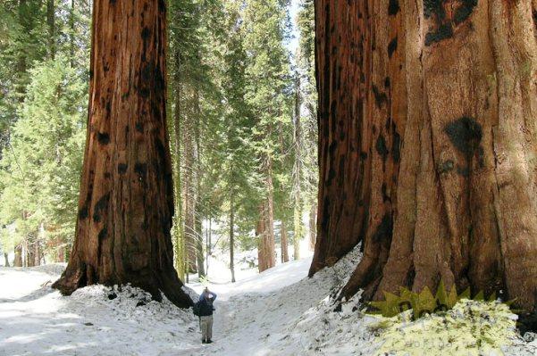 درختان عظیم الجثه