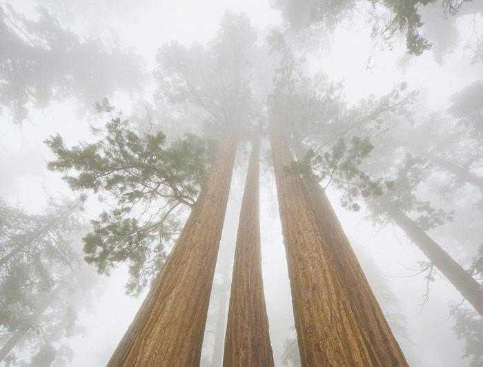 غول 3200 ساله جنگل