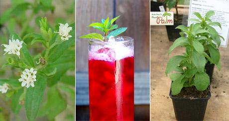 درباره گیاه استویا