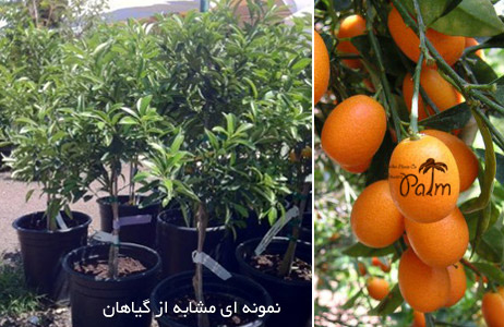 فروش نهال پرتقال
