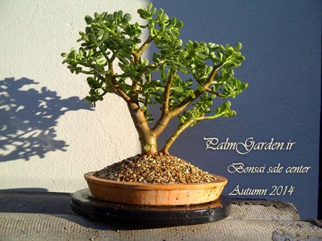 فروش درختان مینیاتوری