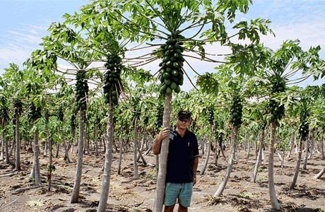 مزارع کشت پاپایا (خربزه درختی)