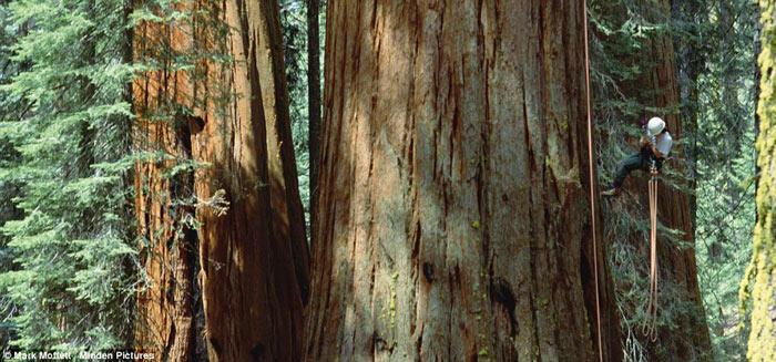 درختان عظیم سیه را نوادا