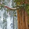 درختان غول پیکر