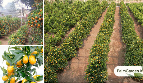 احداث باغ پرتقال کامکوات