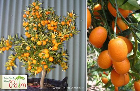 پرتقال آپارتمانی کامکوات