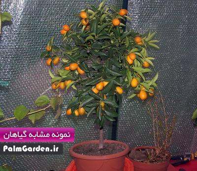نهال پرتقال آپارتمانی