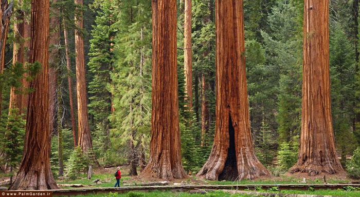 بزرگترین درختان زمین