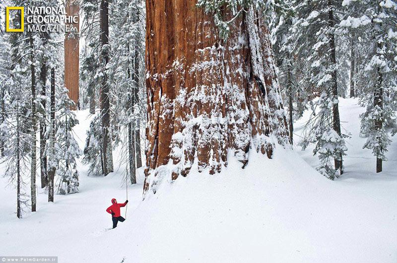 بزرگترین درختان جهان