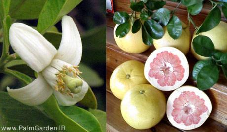 گل و میوه پوملو (پاملو) اصلاح شده