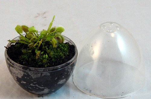 نمونه گلدان ونوس حشره خوار