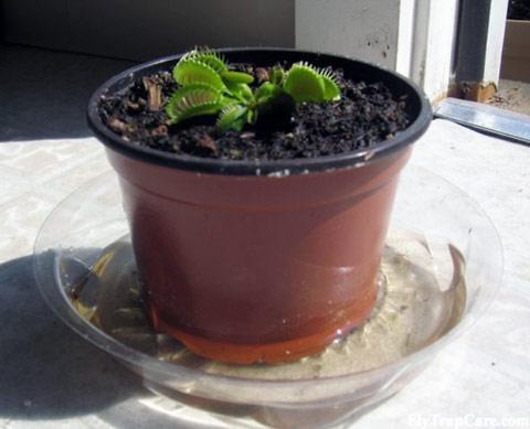 نمونه گلدان ونوس در مناطق مرطوب