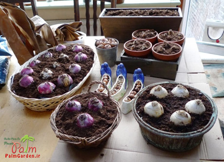 کاشت پیاز سنبل در گلدان
