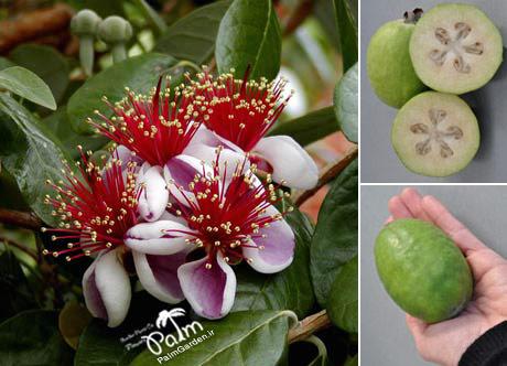 میوه و گل نهال فی جوآ