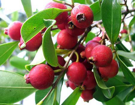 خرید نهال گواوا قرمز Strawberry Guava