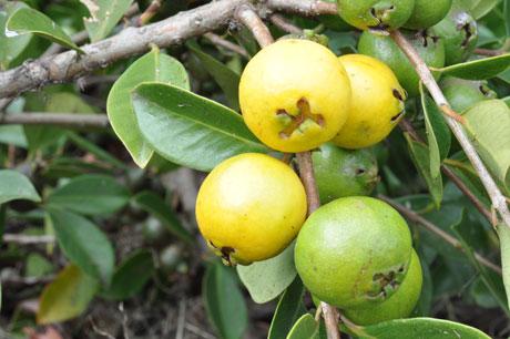 فروش نهال گواوا زرد Lemon Guava