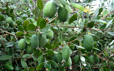 نهال فی جوآ (فیجی) Feijoa Sellowiana