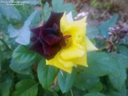 گل رز هیبرید زرد و مشکی مخملی
