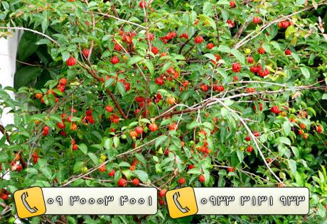 خرید درختان 3 ساله میوه ثمره - 44