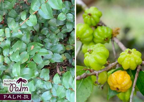 میوه گیلاس سورینام