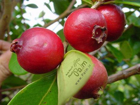 نهال گواوا قرمز Strawberry Guava