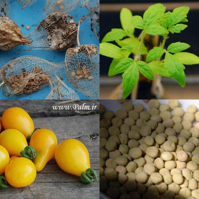 بذر گوجه فرنگی زرد گلابی Pear Tomato