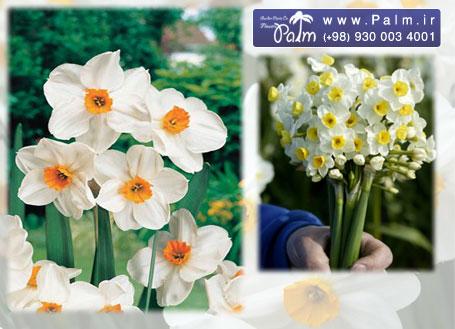 خرید پیاز نرگس شیراز Narcissus tazetta