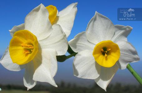 پیاز نرگس شیراز Narcissus tazetta