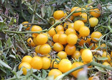 بذر گوجه چری زرد گیلاسی