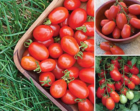 بذر گوجه چری قرمز زیتونی