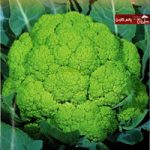 بذر گل کلم سبز مکرتا ایتالیایی
