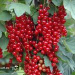 فروش نهال رد کارنت انگور فرنگی